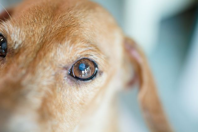 Close up small white spot on the dog's eyes. This is type of Eye disease in dogs call Lenticular nuclear...
