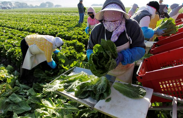 A crew harvests romaine lettuce in California on May 3,