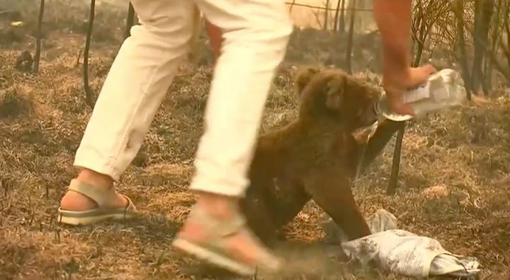 Woman saves burning koala near Port Macquarie with the shirt off her own back.
