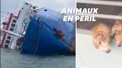 Un bateau s'échoue en mer noire avec 14.000 moutons bloqués à