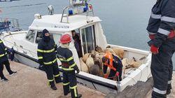 Πλοίο φορτωμένο με 14.000 πρόβατα ανετράπη στη