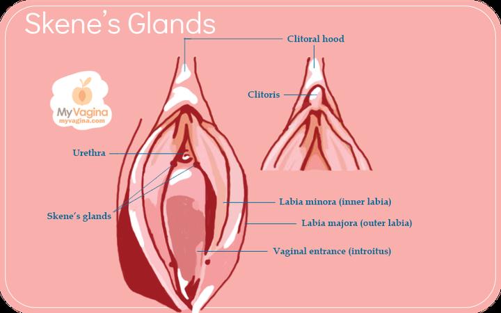 Esquema de las glándulas de Skene, clítoris y vagina.