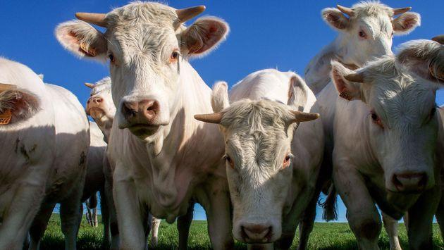Troupeau de vaches blanches dans un