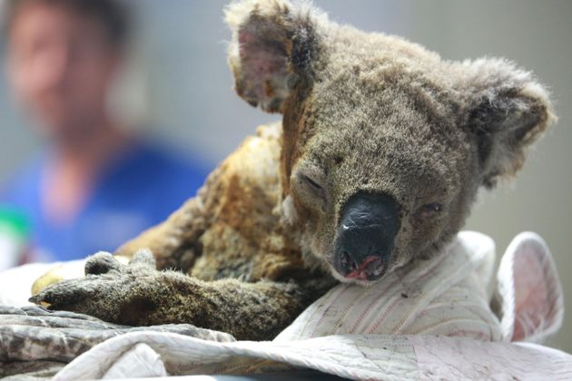 An injured koala receives treatment after its rescue from a bushfire at the Port Macquarie Koala Hospital...
