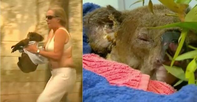 Lewis, le koala terriblement blessé et brûlé des suites d'un feu de forêt...