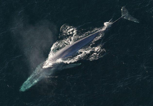 지상 최대의 동물은 바다 표면에서 4분가량 머물면서 10여 차례 호흡을 가다듬고 184m까지 잠수해 17분 동안 힘겨운 돌진 사냥을 하는 것으로 밝혀졌다. 이때 산소 소비를 줄이기...