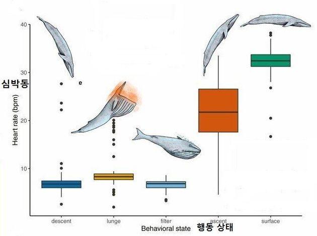대왕고래의 사냥 행동과 심박동수의