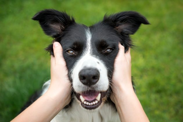 Close up of a Border Collie being held and looking direct into the camera. A loving expression on the...