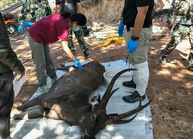 Cervo trovato morto in Thailandia con 7 kg di plastica nello