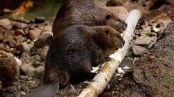 le Royaume-Uni va réintroduire des castors pour lutter contre les