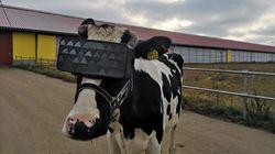 농부들이 소에게 VR헤드셋을 씌우는 실험이