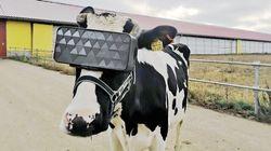 牛もVRを装着する時代に?