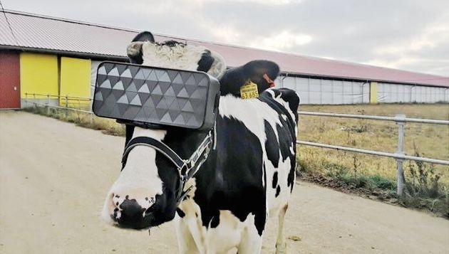 特別に設計されたVRを装着する牛(画像を明るく加工しました)