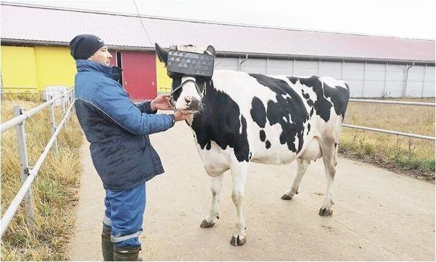 VR装着実験が行われている牛(画像を明るく加工しました)