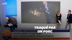 Poursuivi par un porc, ce journaliste grec n'a pas pu faire son
