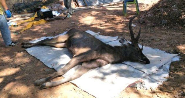 クンサターン国立公園で発見された、シカ