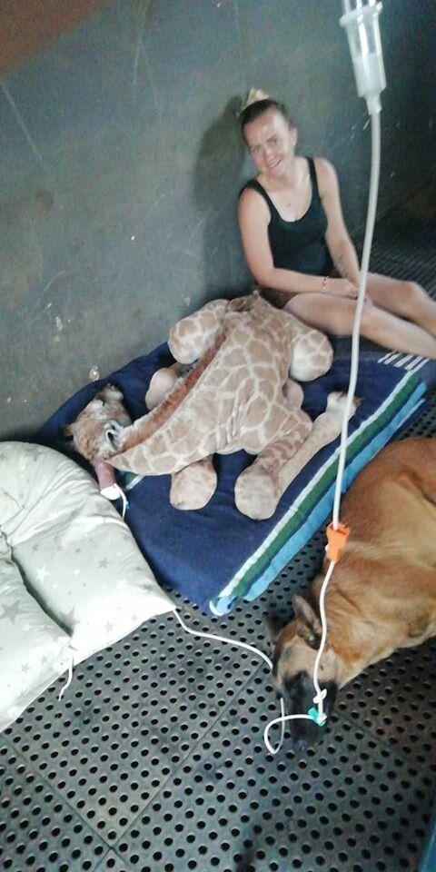 死にかけていた赤ちゃんキリン、ずっと見守っていた番犬と大親友に 頭を寄せ合い一緒に毛づくろい