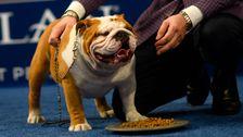 All Hail Thor, Der Hunky Bulldogge, Die Gewann Den National Dog Show