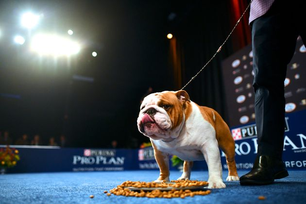 National Dog Show 2020.All Hail Thor The Hunky Bulldog That Won The National Dog