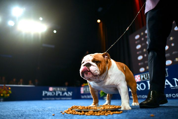 A bulldog named Thor wins Best in Show.