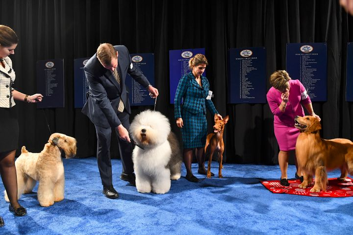 Best in Group dogs, including a soft-coated wheaten terrier, an Old English sheepdog, a pharaoh hound and a golden retriever, wait backstage before competing for the Best in Show award, which went to a bulldog.
