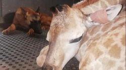 생후 이틀 만에 버려진 아기 기린을 돌본 경비견의 따뜻한 마음