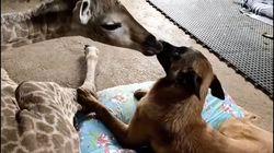 Un perro cuida de una jirafa abandonada por su