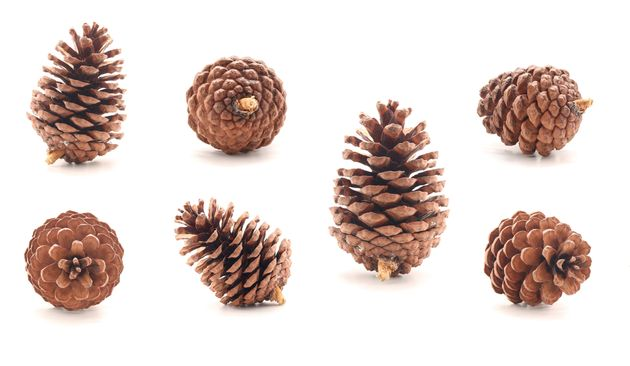 Pine cone tree fruits isolate on white