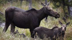 Hungry Moose Are Destroying Newfoundland Farmers'