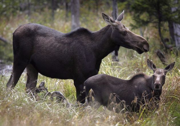 Moose graze in Franconia, N.H. in on Aug. 21,