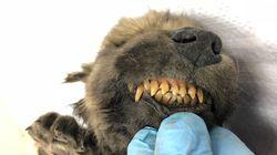 과학자들이 1만8000년 된 이 미라가 개인지 늑대인지 몰라 당황하고