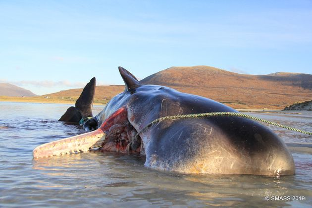 The carcass of the sperm whale found on Luskentyre