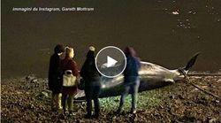 Balena artica trovata morta sul Tamigi. È il terzo caso in due mesi