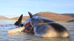 Σκωτία: 100 κιλά σκουπίδια μέσα στο στομάχι μιας φάλαινας – Συγκλονιστικές οι