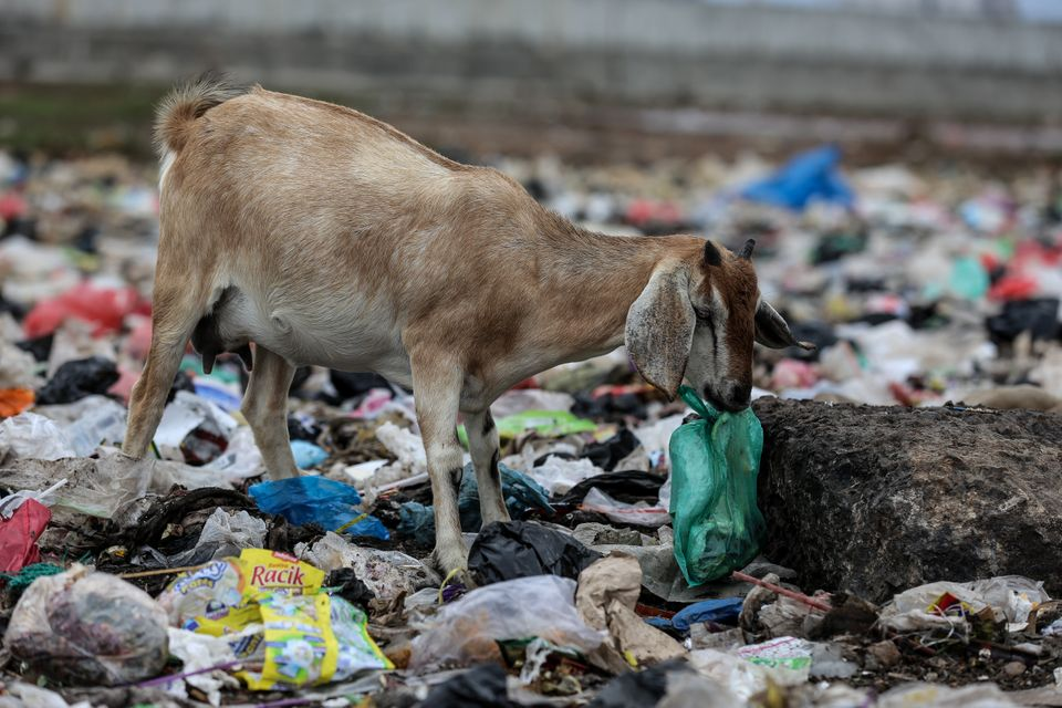 A goat is foraging for food inside a plastic bag in Jakarta, Indonesia, on Feb. 15, 2019. (Photo by Andrew...
