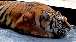 Μοναχική τίγρης στην Ινδία περπατά 1.300χλμ αναζητώντας τροφή, ταίρι και μέρος να ζήσει (και