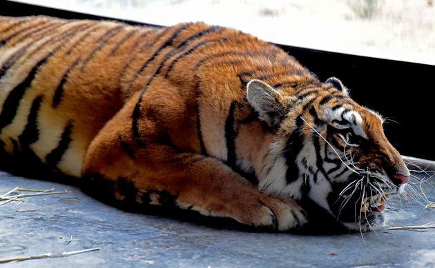 Τίγρης στην Ινδία περπατά 1.300 χλμ αναζητώντας τροφή και