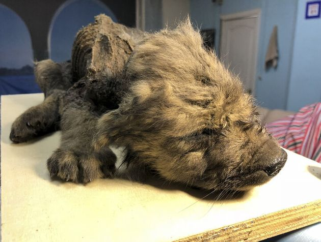 The remains of a prehistoric puppy found preserved in permafrost in Russia's Far East are seen at the...