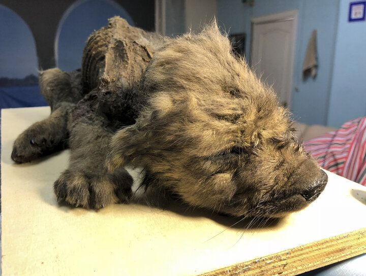 The remains of a prehistoric puppy found preserved in permafrost in Russia's Far East are seen at the Yakutsk's Mammoth Museu