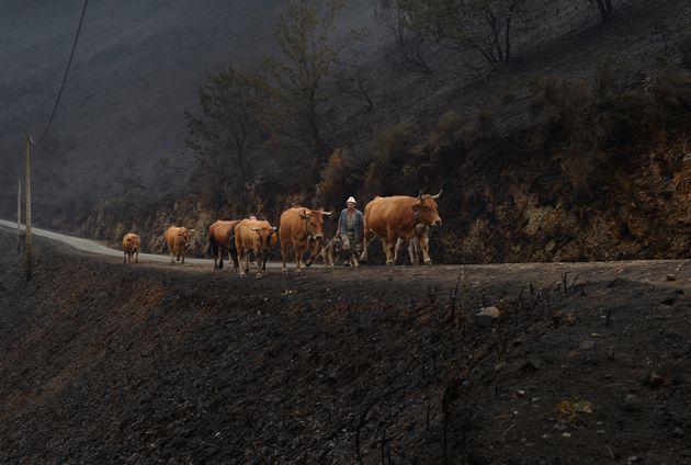 Imagen de archivo de unos agricultores gallegos trasladando su ganado por un paraje devastado por un
