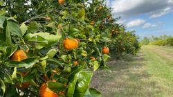 Rien (ou presque) n'arrête la bactérie qui tue les orangers de