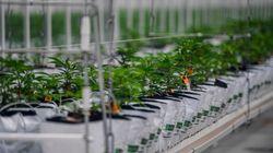 Anvisa dá aval para venda de produtos à base de Cannabis em