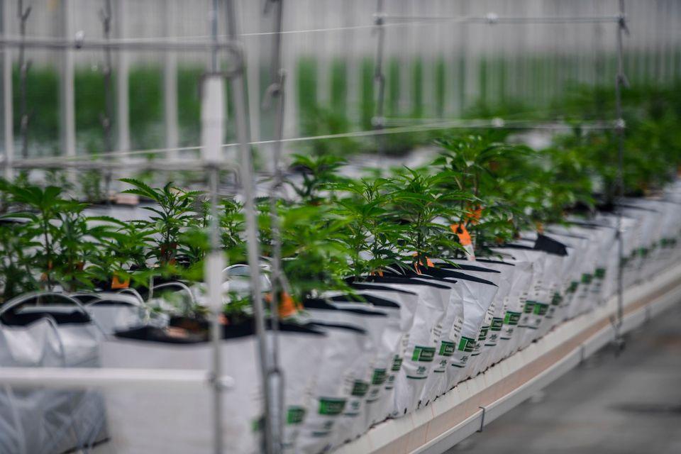 Segundo dados da Anvisa, mais de 7 mil pacientes conseguiram aval para importar maconha para uso medicinal,...