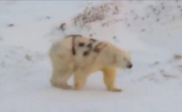 体にスプレーで「T-34」と落書きされたシロクマが、ロシアで撮影される