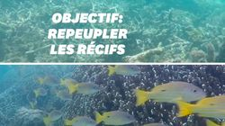 Pour protéger les récifs coralliens, ces scientifiques utilisent le
