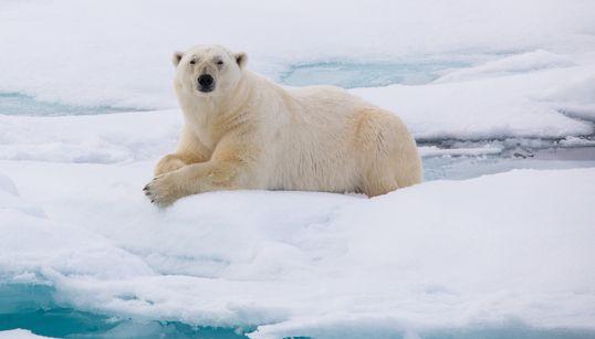 «Εισβολή» πολικών αρκούδων σε ρωσικό
