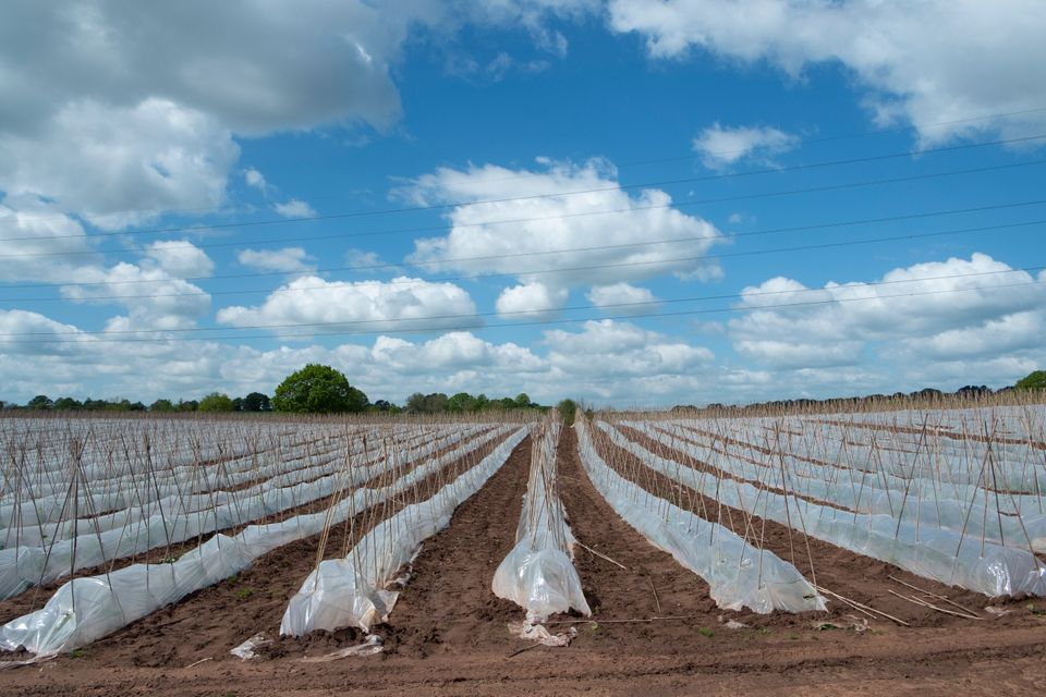 Crop of runner beans being grown in huge numbers under plastic on a farm near Hartlebury, England, United
