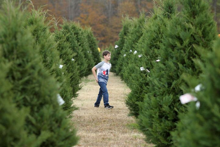 Mason Davis, 7, roams the aisles of Christmas trees as he helps his family look for the perfect tree at Worthey Tree Farm in