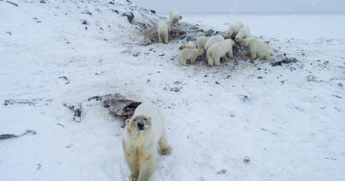 En Russie, 56 ours blancs s'installent aux abords d'un village