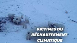 Ces 56 ours blancs se sont installés aux abords d'un